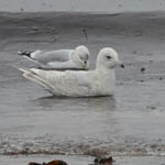 2nd winter Iceland Gull