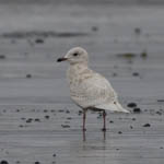 1st Iceland Gull, Outer Hebrides Birds