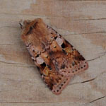 Ingrailed Clay - Outer Hebrides Moths