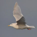 Kumlien's Gull in flight