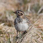 Lapland Bunting, South Uist