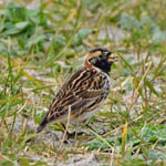 male Lapland Bunting, North Uist