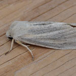 Large Wainscot