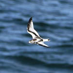 juvenile Little Gull