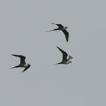 Long-tailed Skuas, Aird an Runair
