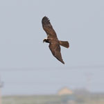 Marsh Harrier - Outer Hebrides Birds