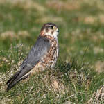 male Merlin Outer Hebrides