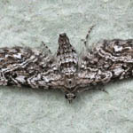 Narrow-winged Pug