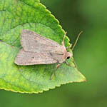 Neglected Rustic, Outer Hebrides Moths