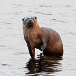Otter - North Uist