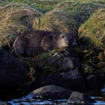 Otter South Uist