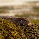 Otters in Uist