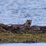 Otters - Outer Hebrides