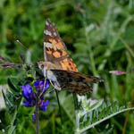 Painted Lady butterfly Outer Hebrides