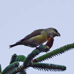 Parrot Crossbill, North Uist
