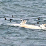 petrels on whale carcass
