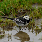 Pied Wagtail, Benbecula