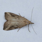 Pinion-streaked Snout - Outer Hebrides Moths