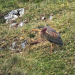 Purple Heron, Barra