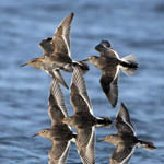 Purple Sandpipers, South Uist
