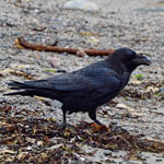 Raven in Stinky Bay