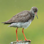 Redshank Outer Hebrides Birds