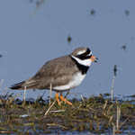 adult Ringed Plover, Outer Hebrides Birds
