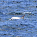 Risso's Dolphin, Outer Hebrides