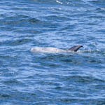 Risso's Dolphin, Western Isles