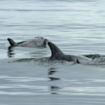 Risso's Dolphins - Outer Hebrides Mammals