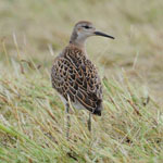 Ruff - Outer Hebrides Birds