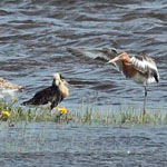 male Ruff displaying to Black-tailed Godwit