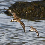Ruff and Ringed Plover