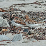 Sanderling and Turnstones