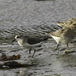 Semipalmated Sandpiper with Dunlin