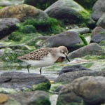 juvenile Semipalmated Sandpiper, South Uist