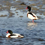 Shelduck - Outer Hebrides Birds