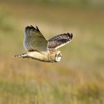 Short-eared Owl, Outer Hebrides