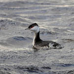 Slavonian Grebe - South Uist