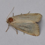 Small Dotted Buff - Outer Hebrides Moths