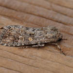 Small Mottled Willow