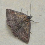 Small Purple-barred