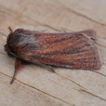 Small Wainscot - Outer Hebrides Moths