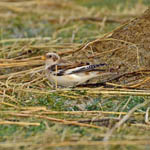 Snow Bunting, North Uist