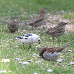 Snow Bunting with House Sparrows