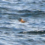 Surf Scoter, South Uist
