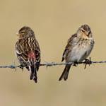 Twite - Outer Hebrides Birds