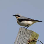 male Wheatear, North Uist