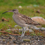Whimbrel Birds of Outer Hebrides