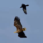 White-tailed Eagle and Raven